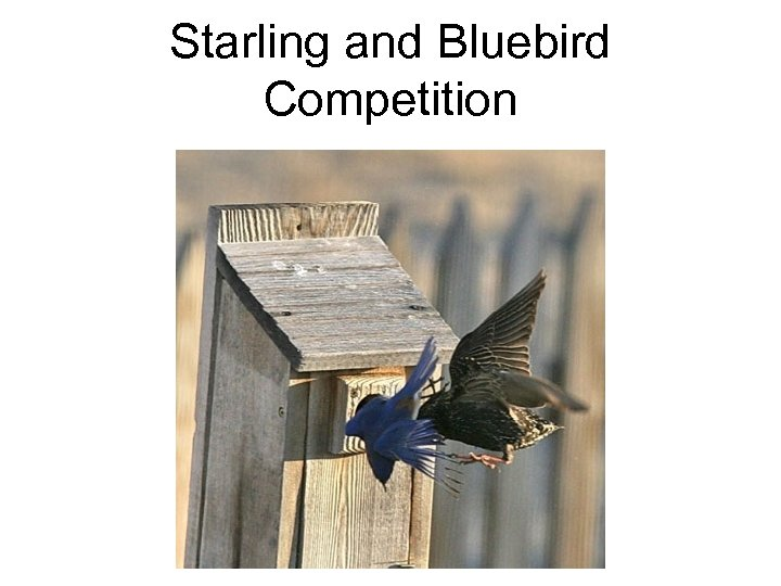 Starling and Bluebird Competition