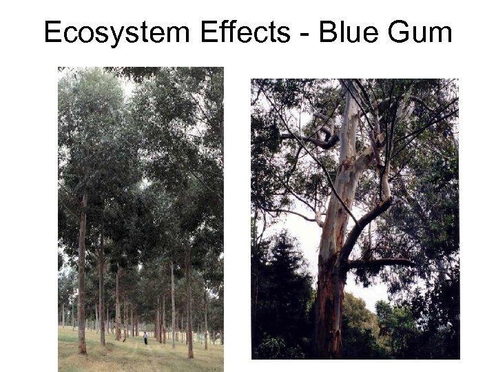 Ecosystem Effects - Blue Gum