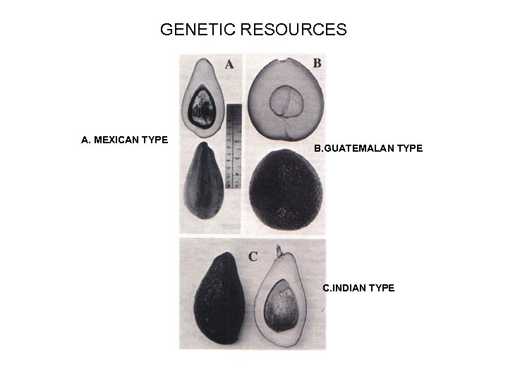 GENETIC RESOURCES A. MEXICAN TYPE B. GUATEMALAN TYPE C. INDIAN TYPE