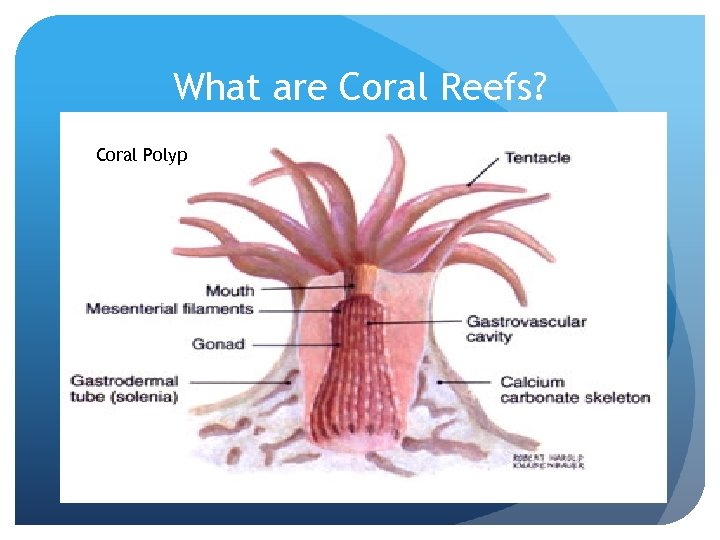 What are Coral Reefs? Coral Polyp