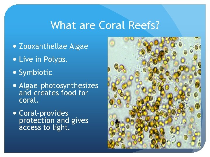 What are Coral Reefs? Zooxanthellae Algae Live in Polyps. Symbiotic Algae-photosynthesizes and creates food