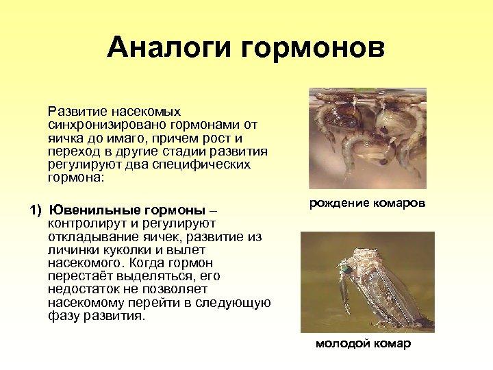 Аналоги гормонов Развитие насекомых синхронизировано гормонами от яичка до имаго, причем рост и переход