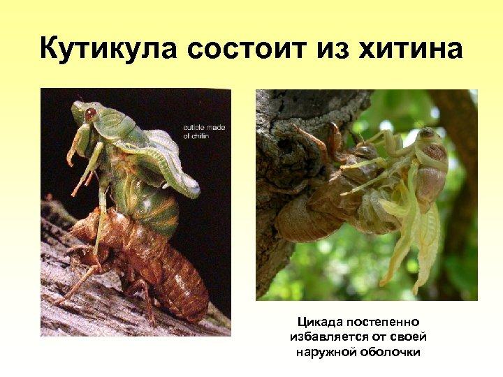 Кутикула состоит из хитина Цикада постепенно избавляется от своей наружной оболочки