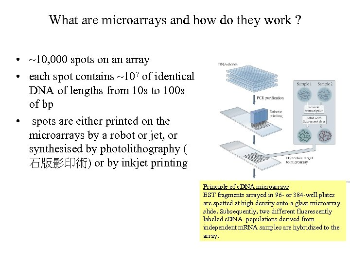 What are microarrays and how do they work ? • ~10, 000 spots on