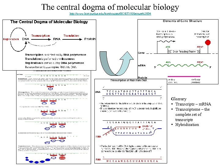 The central dogma of molecular biology http: //www. hort. purdue. edu/hort/courses/HORT 250/lecture%2004 Glossary •