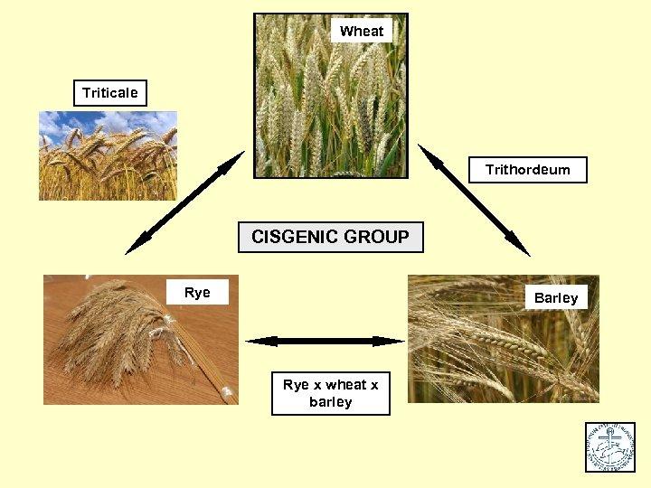 Wheat Triticale Trithordeum CISGENIC GROUP Rye Barley Rye x wheat x barley