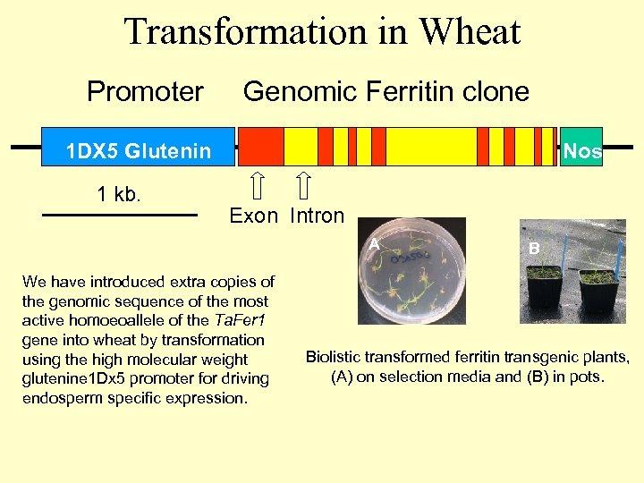 Transformation in Wheat Promoter Genomic Ferritin clone 1 DX 5 Glutenin 1 kb. Nos