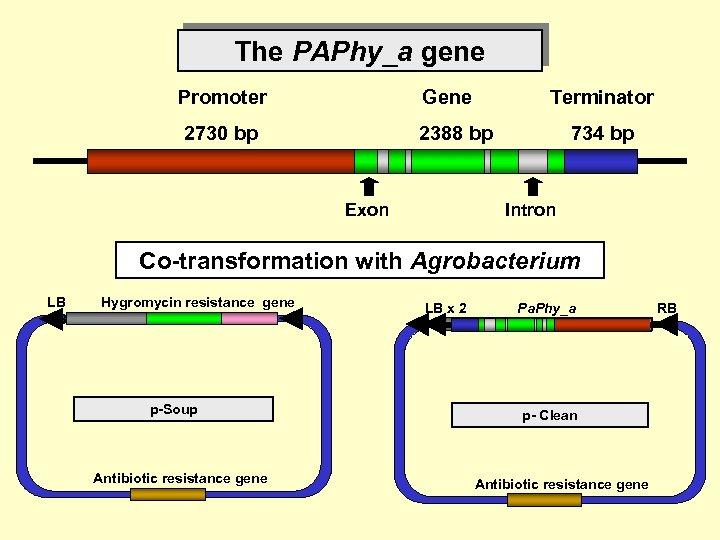 The PAPhy_a gene Promoter Gene 2730 bp 2388 bp Exon Terminator 734 bp Intron