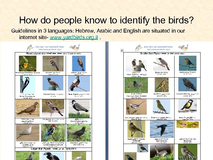 How do people know to identify the birds? Guidelines in 3 languages: Hebrew, Arabic