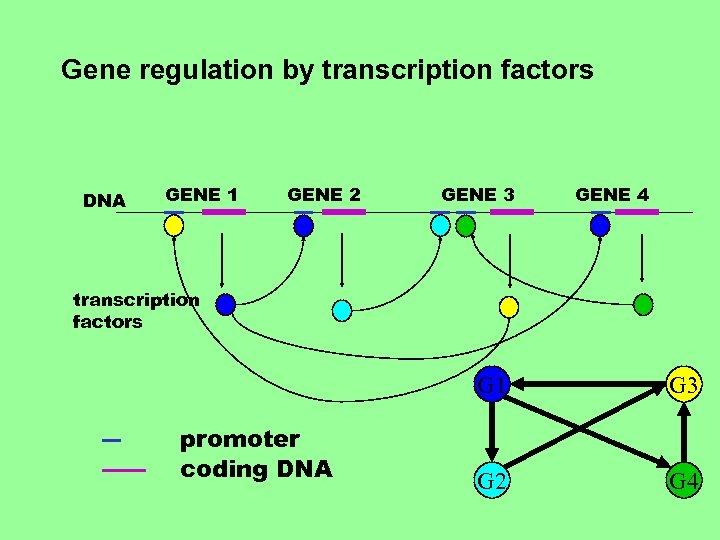 Gene regulation by transcription factors DNA GENE 1 GENE 2 GENE 3 GENE 4