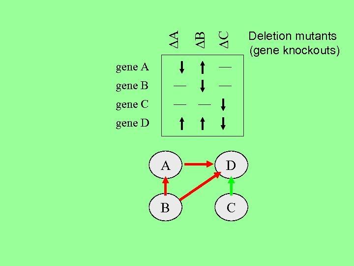 DC DB DA gene B gene C gene D A D B C Deletion