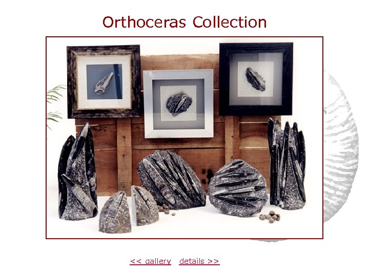 Orthoceras Collection << gallery details >>