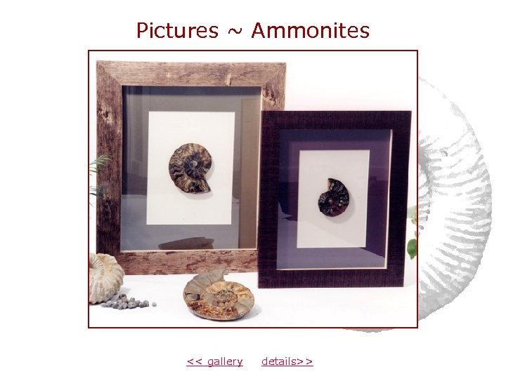 Pictures ~ Ammonites << gallery details>>