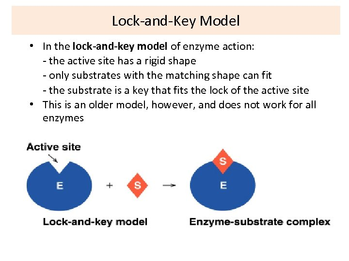 Lock-and-Key Model • In the lock-and-key model of enzyme action: - the active site