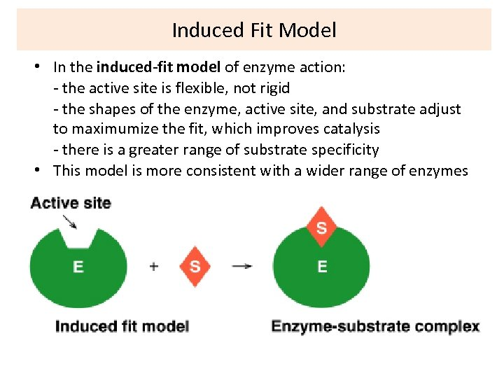 Induced Fit Model • In the induced-fit model of enzyme action: - the active