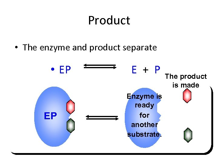 Product • The enzyme and product separate • EP EP E + P Enzyme