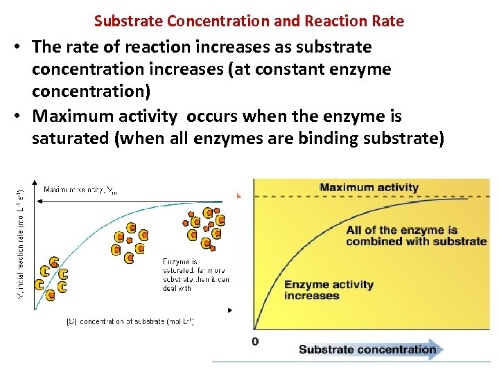 Substrate Concentration and Reaction Rate • The rate of reaction increases as substrate concentration