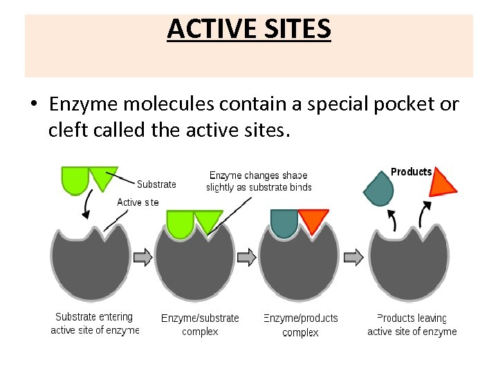 ACTIVE SITES • Enzyme molecules contain a special pocket or cleft called the active