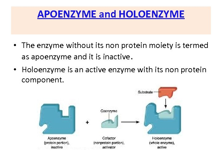APOENZYME and HOLOENZYME • The enzyme without its non protein moiety is termed as