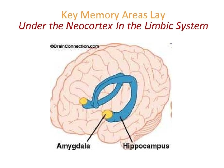 Key Memory Areas Lay Under the Neocortex In the Limbic System