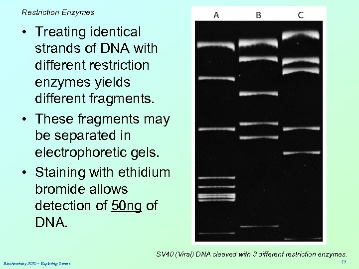 Restriction Enzymes • Treating identical strands of DNA with different restriction enzymes yields different