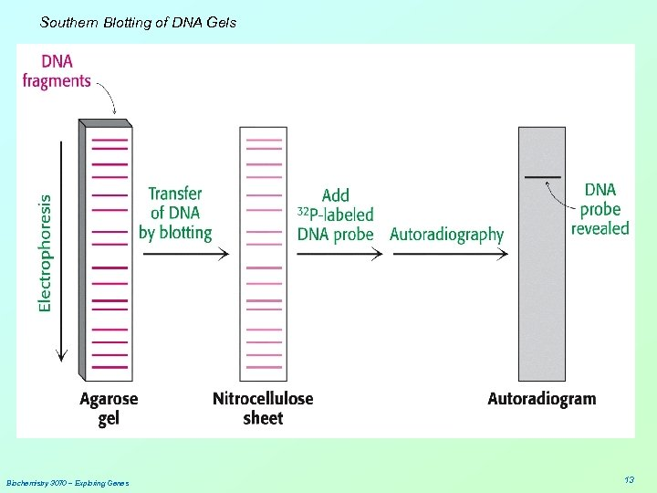 Southern Blotting of DNA Gels Biochemistry 3070 – Exploring Genes 13