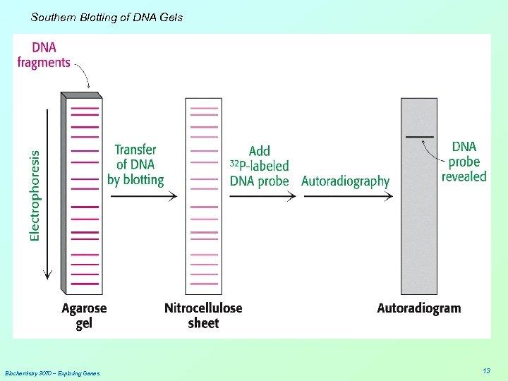 Southern Blotting of DNA Gels Biochemistry 3070 – Exploring Genes 13
