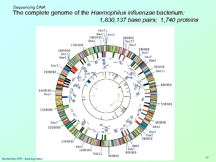 Sequencing DNA The complete genome of the Haemophilus influenzae bacterium: 1, 830, 137 base