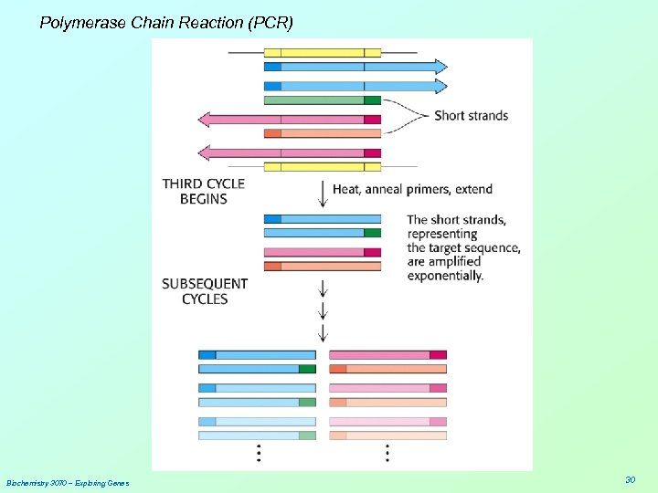 Polymerase Chain Reaction (PCR) Biochemistry 3070 – Exploring Genes 30