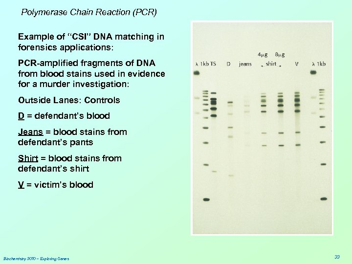 "Polymerase Chain Reaction (PCR) Example of ""CSI"" DNA matching in forensics applications: PCR-amplified fragments"
