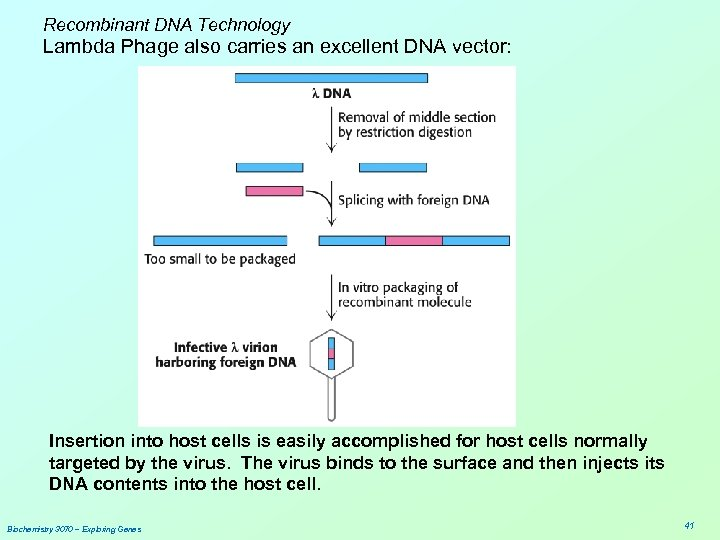 Recombinant DNA Technology Lambda Phage also carries an excellent DNA vector: Insertion into host