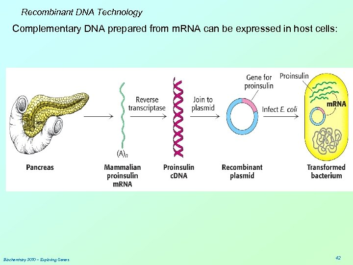 Recombinant DNA Technology Complementary DNA prepared from m. RNA can be expressed in host
