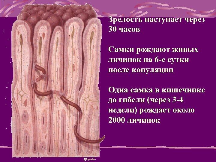 Зрелость наступает через 30 часов Самки рождают живых личинок на 6 -е сутки после