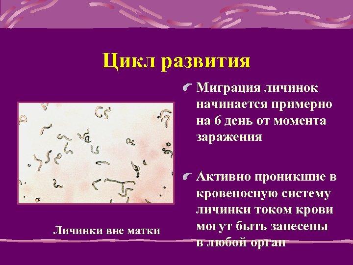 Цикл развития Мигpация личинок начинается пpимеpно на 6 день от момента заpажения Личинки вне