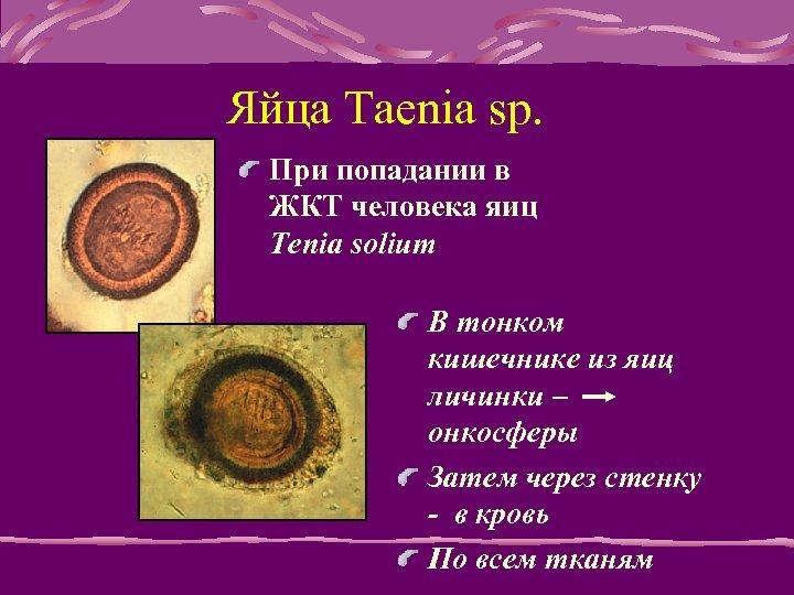 Яйца Taenia sp. При попадании в ЖКТ человека яиц Tenia solium В тонком кишечнике