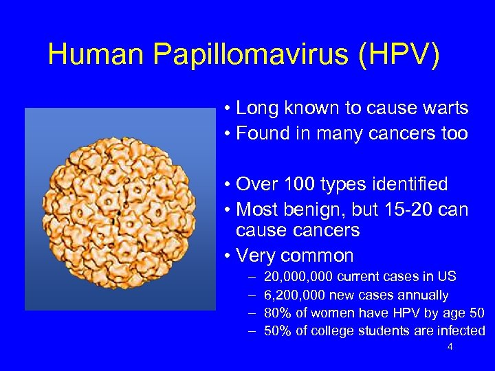 Human Papillomavirus (HPV) • Long known to cause warts • Found in many cancers