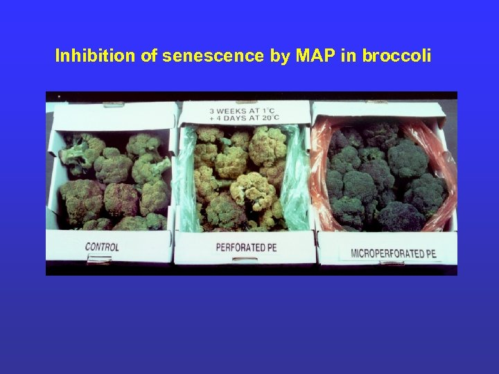 Inhibition of senescence by MAP in broccoli