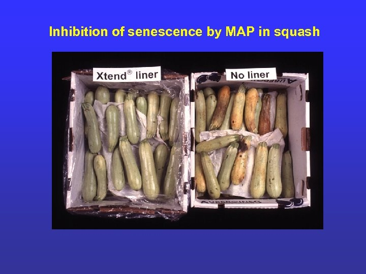 Inhibition of senescence by MAP in squash