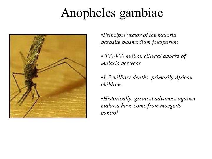 Anopheles gambiae • Principal vector of the malaria parasite plasmodium falciparum • 300 -900