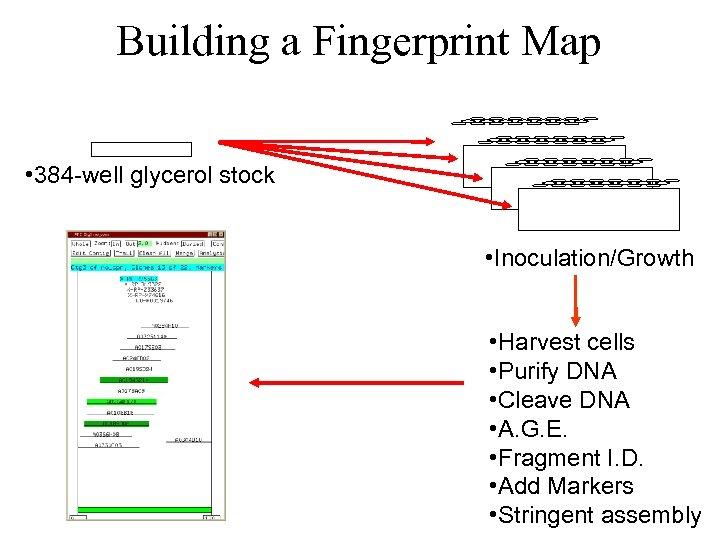 Building a Fingerprint Map • 384 -well glycerol stock • Inoculation/Growth • Harvest cells
