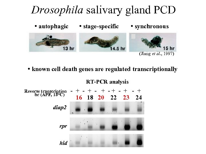 Drosophila salivary gland PCD • autophagic • stage-specific • synchronous (Jiang et al. ,
