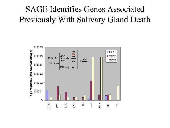 SAGE Identifies Genes Associated Previously With Salivary Gland Death BFTZ-F 1 BR-C E 74