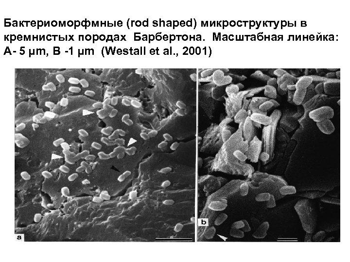 Бактериоморфмные (rod shaped) микроструктуры в кремнистых породах Барбертона. Масштабная линейка: А- 5 µm, B
