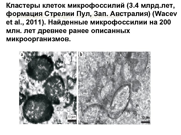 Кластеры клеток микрофоссилий (3. 4 млрд. лет, формация Стрелии Пул, Зап. Австралия) (Wacev Кластеры.