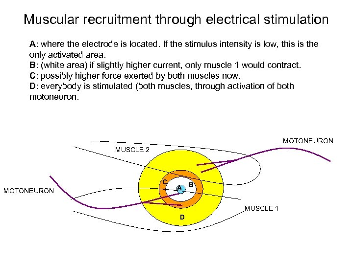 Muscular recruitment through electrical stimulation A: where the electrode is located. If the stimulus