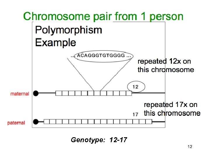Genotype: 12 -17 12