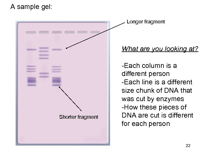 A sample gel: Longer fragment What are you looking at? Shorter fragment -Each column