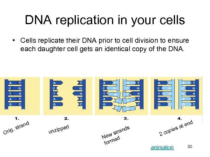 DNA replication in your cells • Cells replicate their DNA prior to cell division