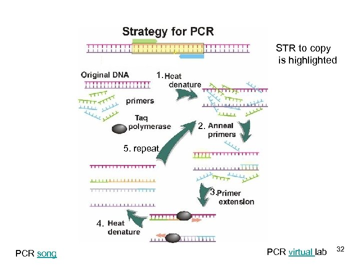 STR to copy is highlighted 1. 2. 5. repeat 3. 4. PCR song PCR