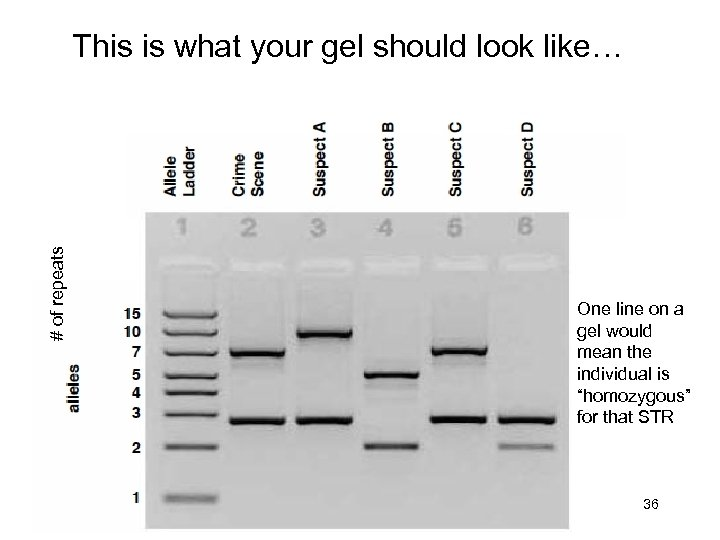 # of repeats This is what your gel should look like… One line on